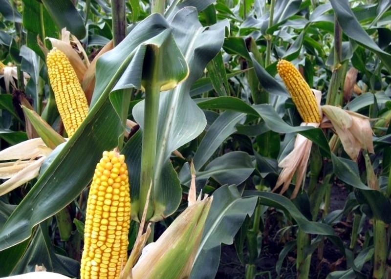 Полицията е разкрила двама хлапаци, откраднали царевица във врачанското село