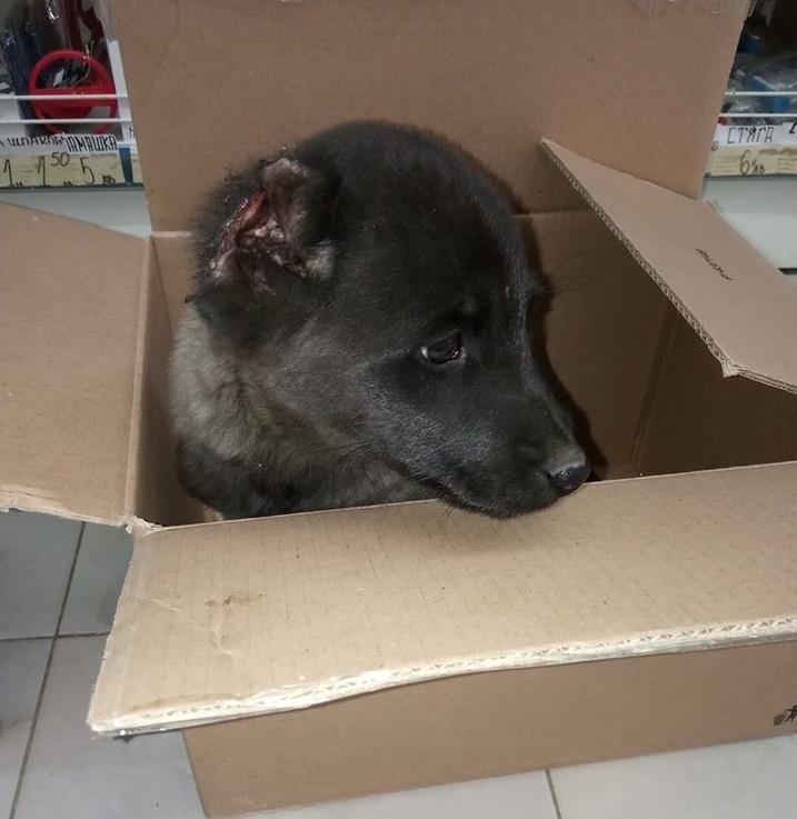 Жестокост! Изверг отряза ушите на малко кученце в Берковица /снимки/