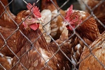 Българската агенция по безопасност на храните (БАБХ) констатира първично огнище
