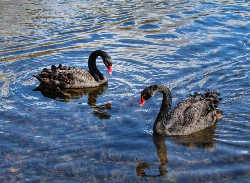 Снимка: Зимуващите водолюбиви птици в региона на Видин и Монтана са по-малко заради нетипично топлата зима