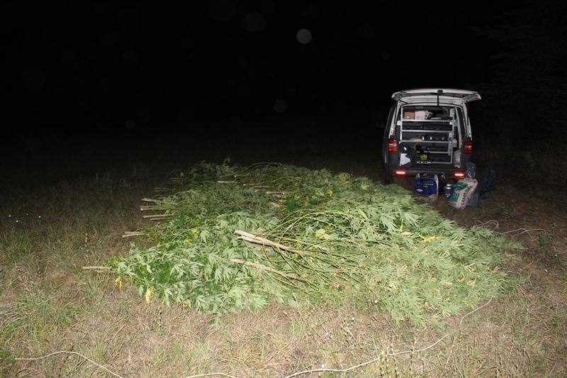 При спецакция! Криминалисти откриха канабисова плантация край Чупрене, има задържан /снимки/