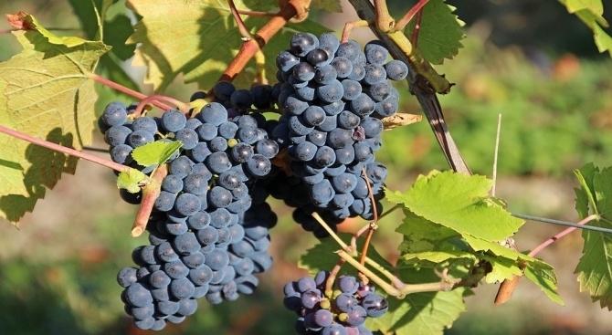 Изкупните цени на гроздето в Сливенско паднаха до 20 стотинки за килограм