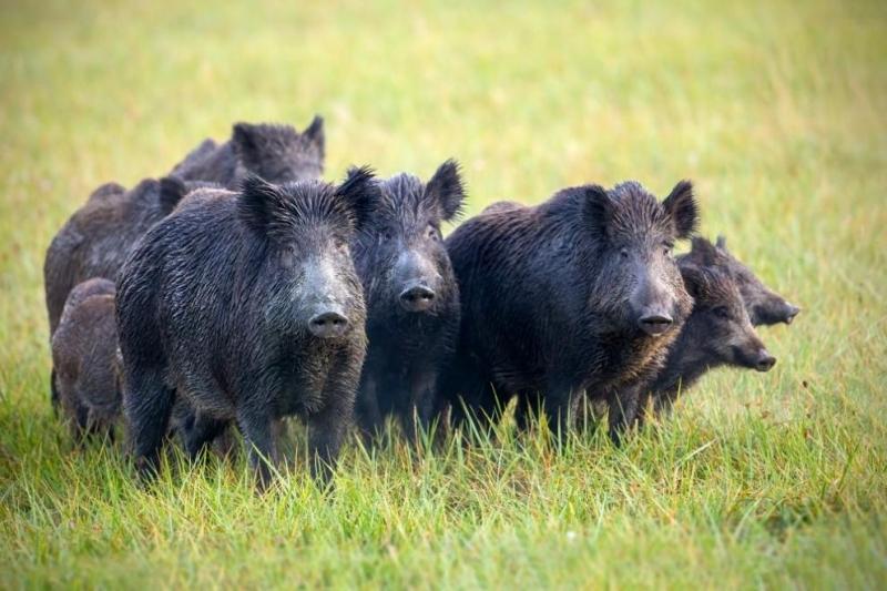 Фермер бил погълнат от собствените си свине, след като получил