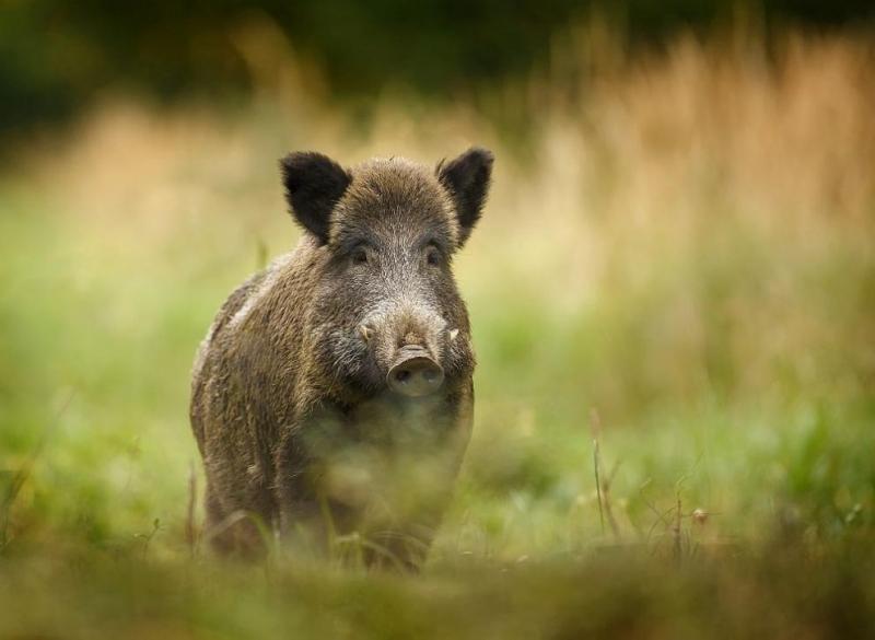 Удължават срока за групов лов на дива свиня заради Африканската чума