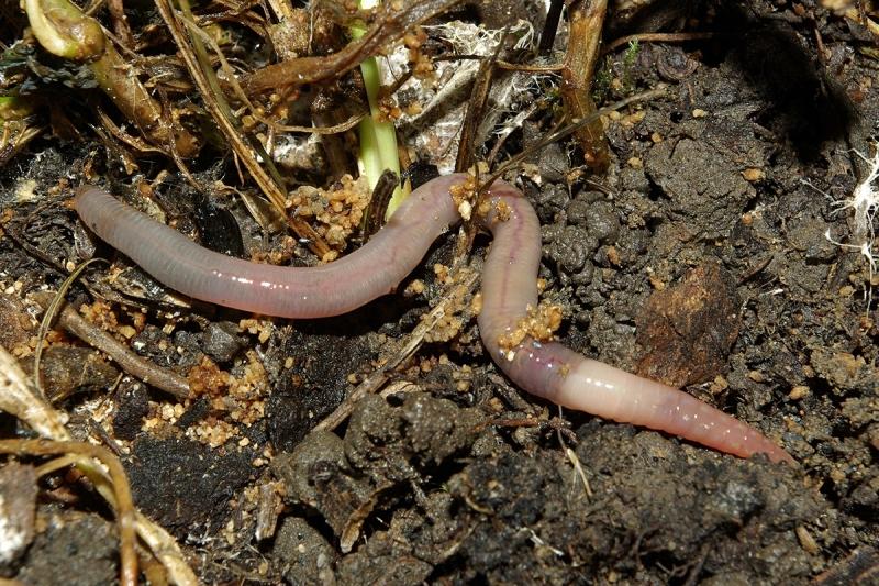 Месоядни тропически червеи от семейството на планариите са проникнали във