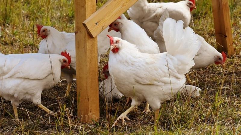 Регистрираха първото огнище на птичи грип в България за годината