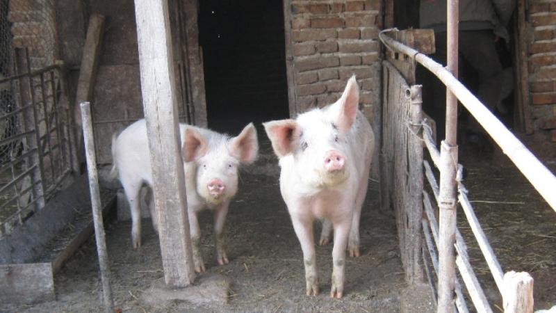 Всички индустриални свинекомплекси в България вече могат свободно да търгуват