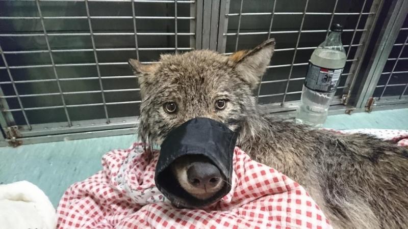 Естонски работници спасиха вълк от река Пярну. Отначало не си