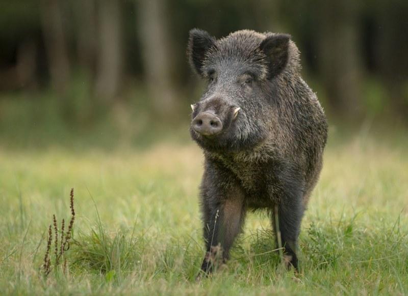 Снимка: Съмнения за африканска чума и в Монтанско, пратиха проба от диво прасе за изследване