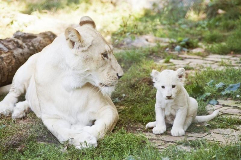 Френската организация по опазване на животните Caresse de Tigre показа