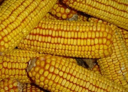 Полицията разкри кражба на 1200 кг царевица