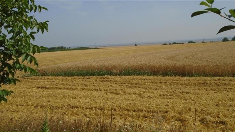 Близо 1300 декара с рапица и пшеница са унищожени от