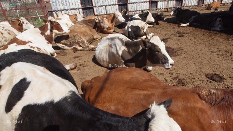 Във Видин забраняват пазарите на едри преживни животни