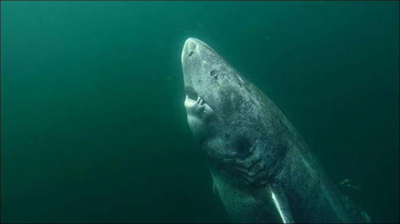 Учени откриха жива акула, по-стара от Шекспир