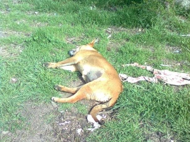 Зверство! Разстреляха домашно куче в Монтанско