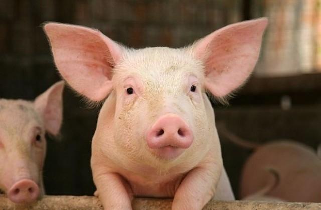 Собственикът на свинекомплекса в свищовското село Българско Сливово е завел