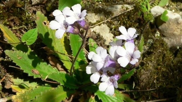 Валериана, бял риган и мечо грозде са сред забранените за
