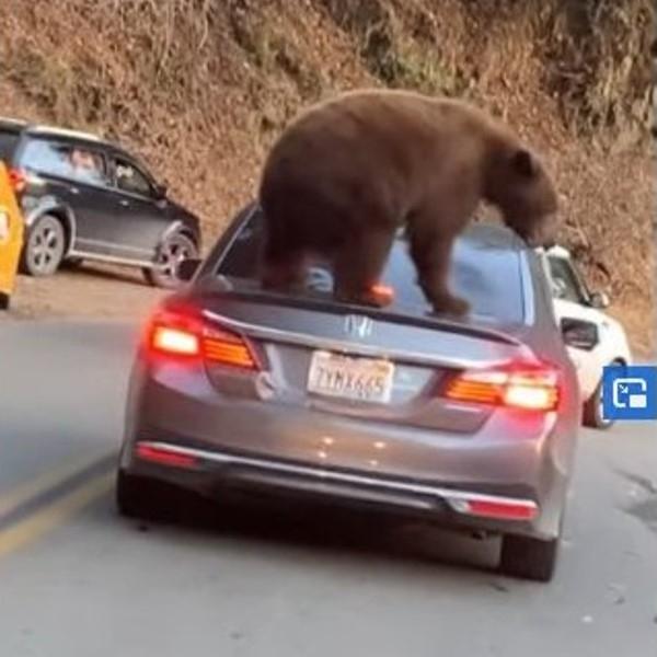 Мечка се покатери на кола в задръстване в Калифорния /видео/