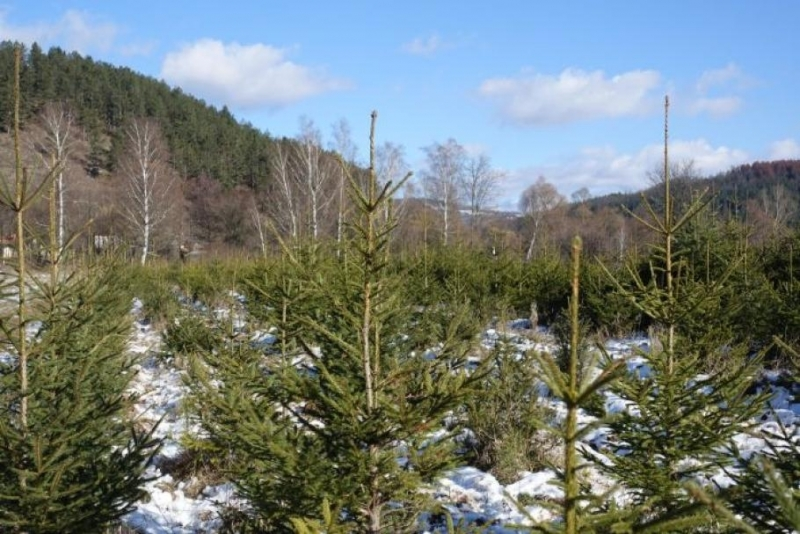 Около 500 зелени дръвчета от видовете бор, ела и смърч