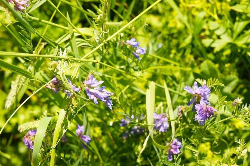 Билката жаблек представлява многогодишно растение, което се разпространява около реки.