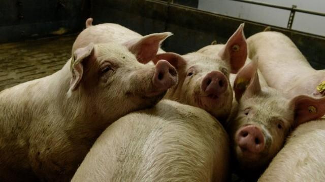 От снощи е започнало евтаназиране на всички свине в 3-километровата
