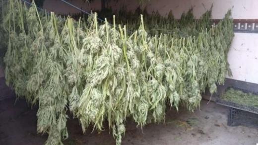 Великотърновски криминалисти иззеха две инсталации за отглеждане на марихуана, над