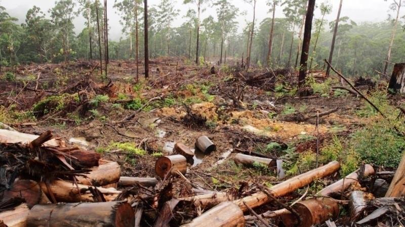 Близо 1000 незаконно отсечени дървета са констатирали горските инспектори само