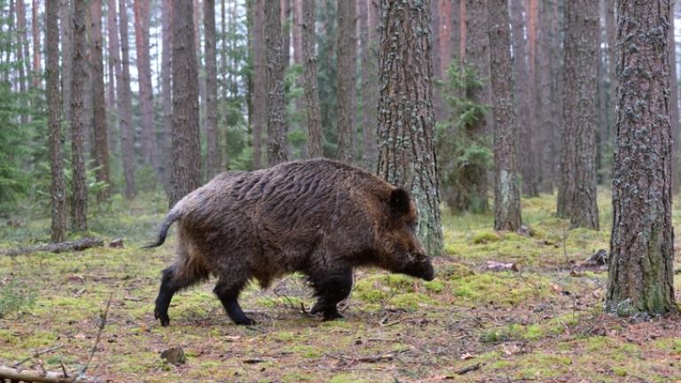 Нов случай на африканска чума по свинете е констатиран Русенско,съобщава