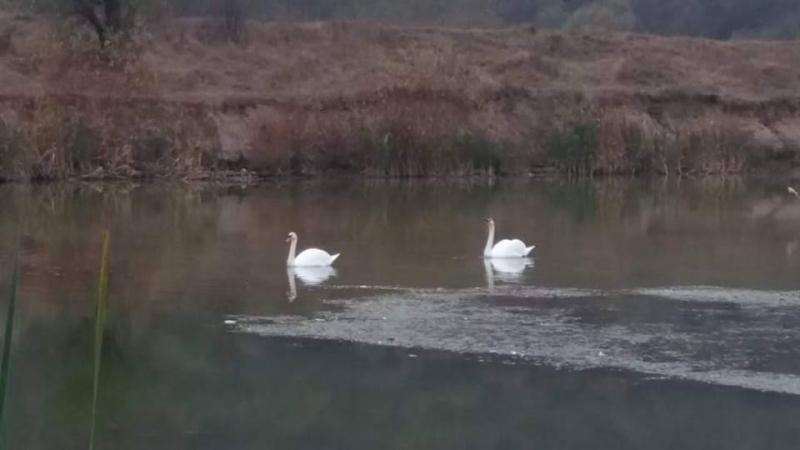 Двойка бели лебеди са останали да зимуват в Монтанско, съобщи