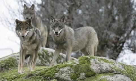 Миграцията на вълци от района на Чернобилската авария може да