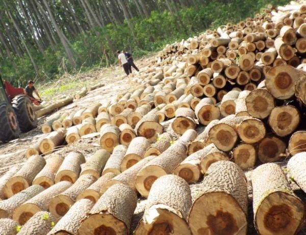 Цените на дървесината са по-високи спрямо миналата година.Това каза инж.