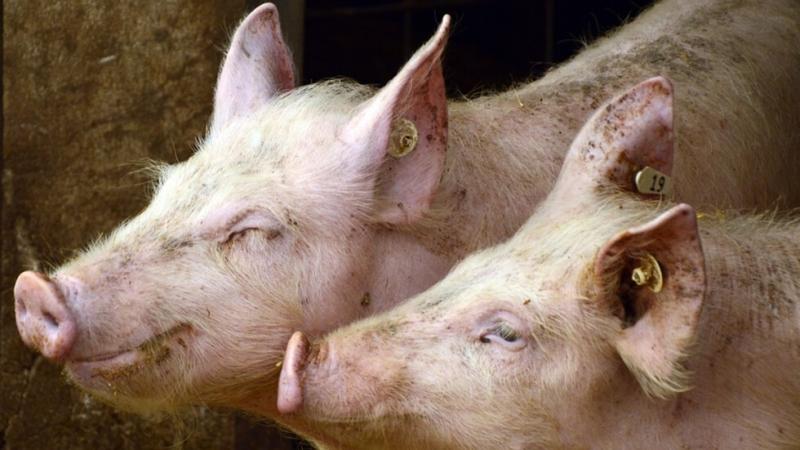 Над 1000 стопани от Видинско са обезщетени заради Африканската чума по свинете