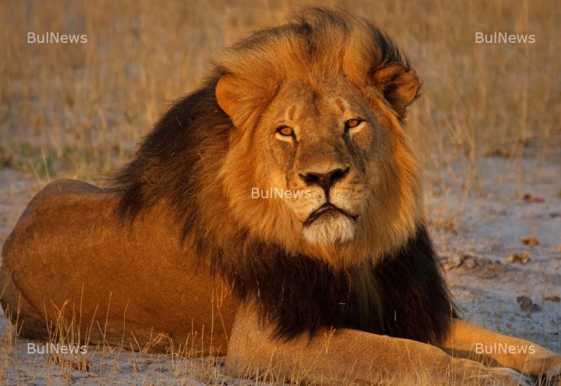 Лъв, вбесен от селфита, нападна досаден турист