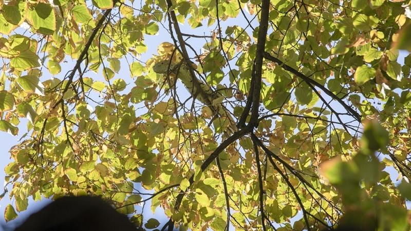 Дълга почти един метър игуана бе свалена от високо дърво