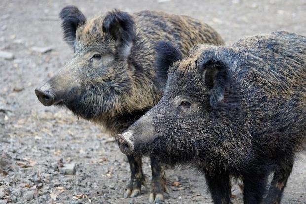 Снимка: Африканската чума по свинете стигна и до Габровско