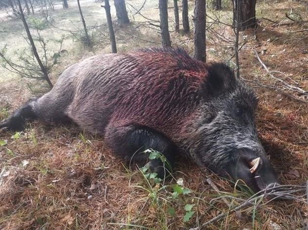 Снимка: Свиреп глиган разпори мъж по време на лов /снимки/