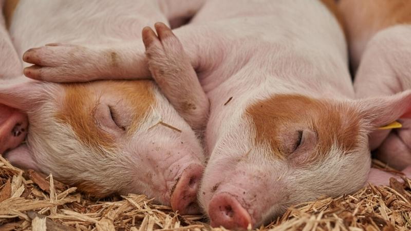 Снимка: Стопаните в Габровско също трябва да умъртвят прасетата в дворовете си