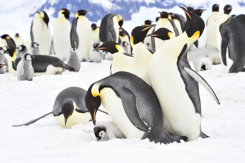 Императорските пингвини садобри бащи,ноне са чак толкова всеотдайни,колкото мислехме досега,