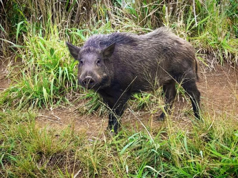 Диви свине заразени с Африканска чума са установени в землището