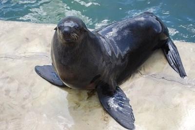 Шотландски биолози установиха, че сивите тюлени могат да образуват думи