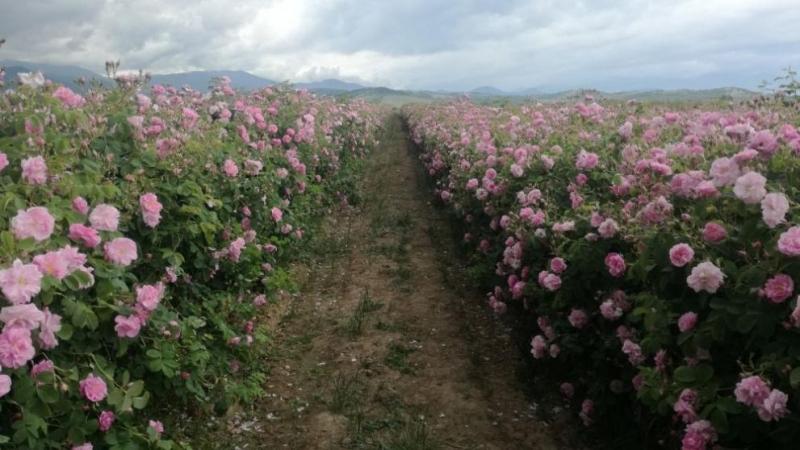 Парламентът прие на първо четене проект наЗакон за маслодайната розас
