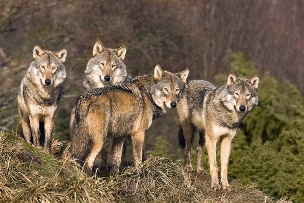 Въпреки топлата есен вълци на глутници започнали да нападат кошари