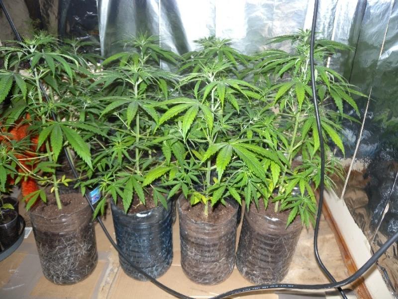Полицаи са намерили наркооранжерия в дома на дрогиран шофьор в