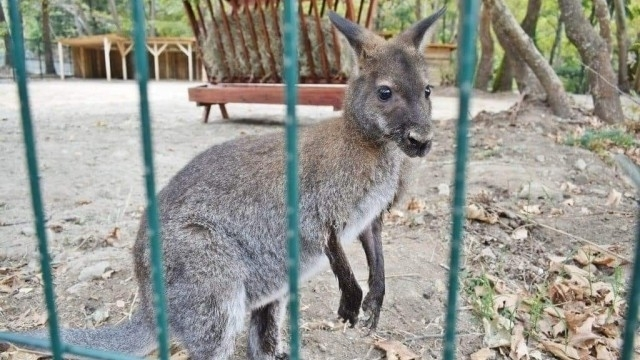 Кенгуру избяга от зоокъта в Сандански. Кметът Кирил Котев каза,