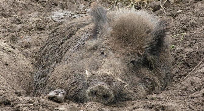 Първи случай на африканска чума по свинете в област Кюстендил