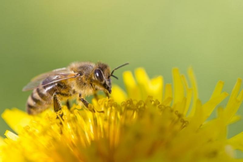 В сряда светът отбелязва Международния ден на пчелата. Денят се