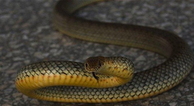 Голяма змия е влязла в къща в Монтана, съобщиха от