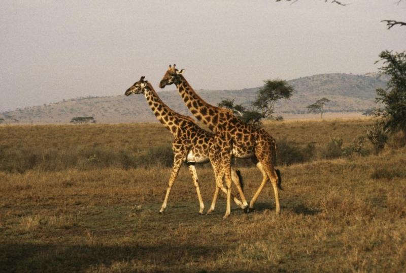 В рядъктрагичен случай два жирафав американски зоопарк са загинали, след
