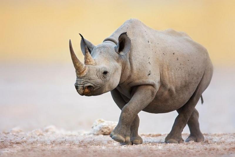 Длъжностни лицаоткриха 125 килограма рогна носорог в гипсови отливки. Петдесет