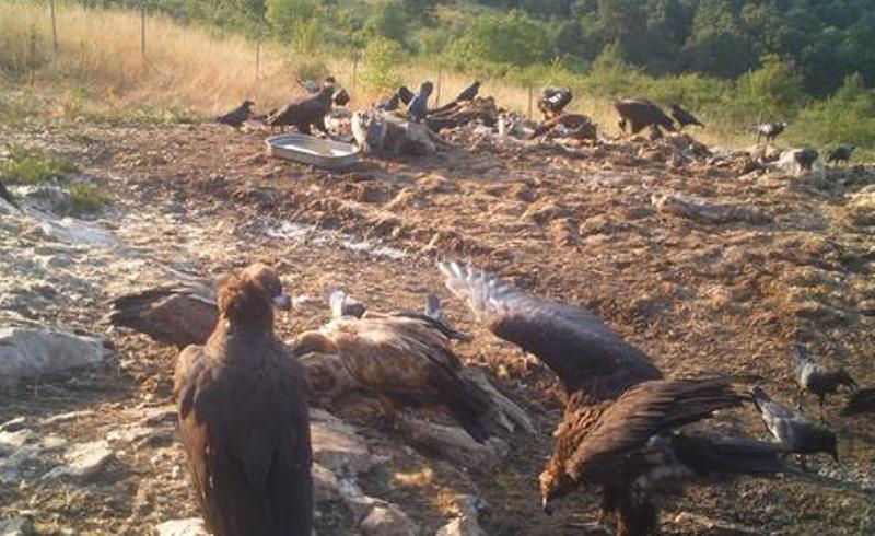 Общо 20 черни лешояда бяха засечени по наблюдения и предаватели